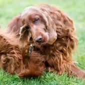 Oorontsteking hond herkennen