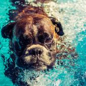 hond zwemt