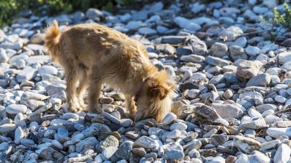hond eet stenen