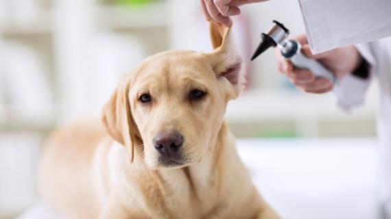hond oorontsteking
