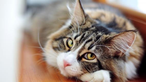 kat met oormijt