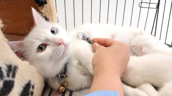 Mijn kat heeft warme oren. Moet ik naar de dierenarts?