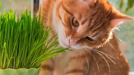 kat eet gras